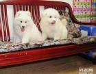 正规犬舍繁育中心,澳熊版微笑天使萨摩耶,健康纯种