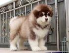 精品巨型阿拉斯加幼犬出售公母都有 包健康包纯种