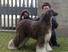 哪里有卖阿富汗猎犬的 阿富汗猎犬一般多少钱