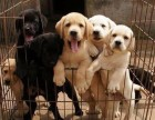纯种拉布拉多犬幼犬 价格合适 健康保证欢迎选购