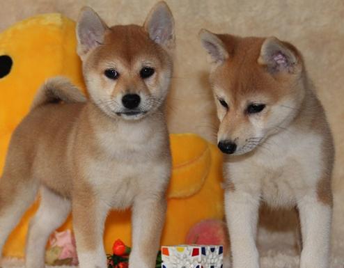 包头哪里有柴犬出售 柴犬哪里的纯种健康 柴犬最好的多少钱