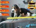 **巴吉度宝宝 血统纯种巴吉度幼犬正规犬舍繁殖