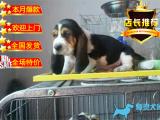 极品巴吉度宝宝 血统纯种巴吉度幼犬正规犬舍繁殖
