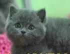 出售蓝猫 布偶 加菲猫 英短纯种蓝猫 买猫送猫包