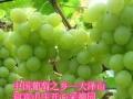 大泽山葡萄节——迎宾山庄开心采摘园