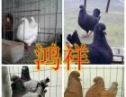 出售观赏鸽,肉鸽,马犬