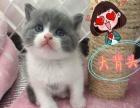 广州家庭繁殖纯种猫中心 英短、蓝白、美短、加菲