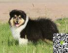 纯种苏格兰牧羊犬价格 纯种苏格兰牧羊犬多少钱