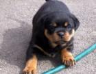 精品护卫犬罗威纳幼犬/狗狗纯种健康保障