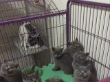 出售纯种健康的蓝猫沾人不怕生人欢迎上门挑选