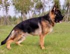 纯种德国牧羊犬,赛级德国牧羊犬,血统纯证,名血之后