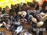 物超所值的广西鸡苗东升禽苗孵化公司供应,南宁禽苗批发商