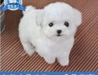 特价 纯种贵宾犬出售,多只可选 柴犬价格优惠