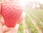 草莓玉溪牛奶草莓欢迎来采摘了