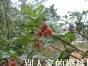 淄博较甜樱桃采摘园-淄河老王-打折促销了