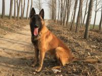 纯种马犬 品相一流 包健康 可签协议 上门看狗 视频看狗