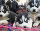 成都出售 精品哈士奇幼犬一簽協議送用品 健康出售
