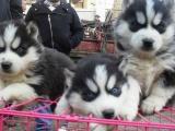 成都出售 精品哈士奇幼犬一签协议送用品 健康出售