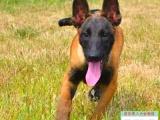 供应新疆地区赛级血统马犬