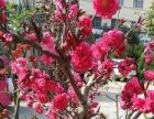 盆栽苹果,梅花、海棠