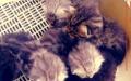 纯血统英短,渐层,虎斑,纯黑,花斑虎,包子脸折耳猫