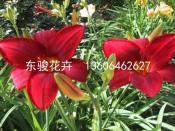 要买质量好的大花萱草,东骏花卉是不二选择 大花萱草供应商