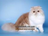 专业猫舍长期出售纯血波斯猫高品质基地繁殖下单送用品