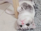 东营性格活泼黏人 超甜美蓝猫宝宝出售 健康无病无癣