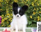 哪里有蝴蝶犬出售 纯种蝴蝶犬多少钱