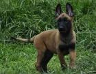 犬舍繁殖出售高端马犬 血统纯正包品质 兴奋度高易训练