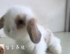 极品垂耳兔侏儒兔安哥拉兔批发零售送礼
