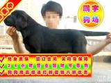 自家狗场繁殖 品质健康有保障 纯种拉拉犬签协议