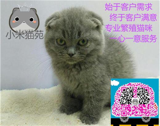 小米猫苑直销多只折耳猫宝宝,身体健康 品相好价格合理