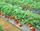 北京郊区草莓采摘