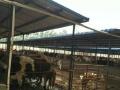 山西小牛犊价格2600包运费安全到家再付款