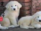 泉州哪里有卖大白熊犬的