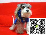 b雪帝宠物,国内顶级的专业雪纳瑞犬舍优秀的雪纳瑞