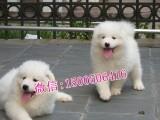 拉萨哪里有狗场出售萨摩耶狗狗幼崽多少钱