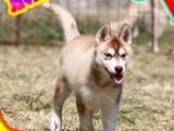 狗证 健康证 血统证 纯种健康哈士奇犬 签订协议