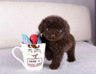 可爱的小体泰迪幼犬 疫苗驱虫已做 健康品质保证