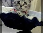 北京市最大养殖基地赛级 折耳幼猫 质保三年亲选可送货签署合同