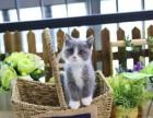 貓舍出售美短加白幼貓 驅過蟲打過疫苗健康有保障