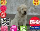 出售聪明的狗狗 拉布拉多幼犬 幼犬均为健康纯种