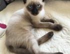 暹罗母猫急售