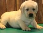 纯种拉布拉多犬 欢迎上门 送全狗用品 健康签协议