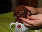 纯种泰迪犬 茶杯泰迪 贵宾犬 泰迪狗泰迪幼犬出售小型犬宠物狗