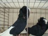 天使鸽多少钱一对哪里有卖天使鸽