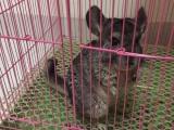 母体成年标灰龙猫,小体