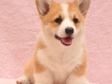 柯基犬纯种家养繁殖柯基犬出售精品家养活体宠物狗