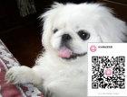 纯种京巴犬狗狗出售